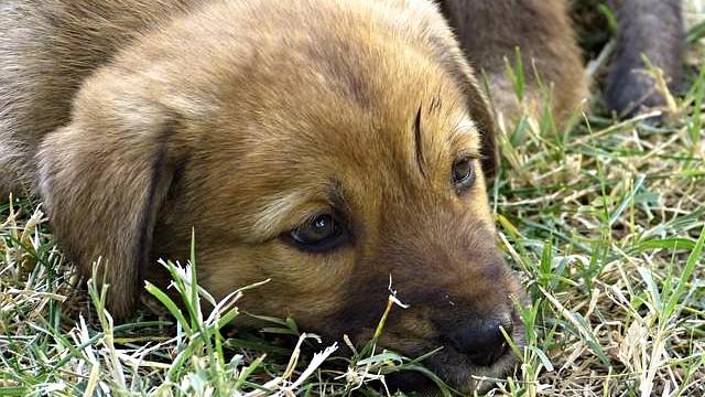 En mand er anholdt - mistænkt for at have gemt heroin i hundehvalpe. Genrefoto: Pixabay