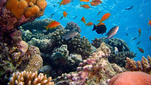 Koralrevene er truet af menneskets CO2-udledning. Foto: Pixabay