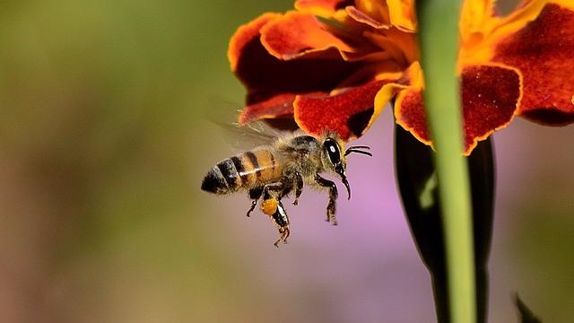 Et af verdens mest brugte insektgifte er skadelig for bierne, lyder det fra den amerikanske miljømyndighed Epa. Foto: Pixabay