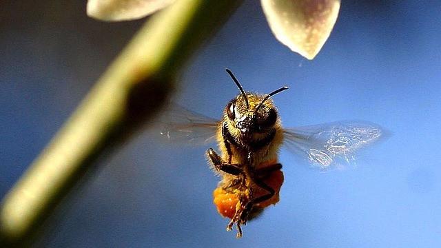 De amerikanske biavlere mistede 44 pct. af deres kolonier det forgangne år. Foto: Pixabay