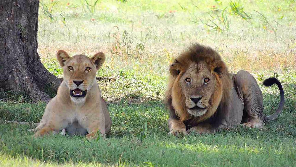 Zambia vil tillade kontrolleret jagt på løver og leoparder. Foto: Pixabay