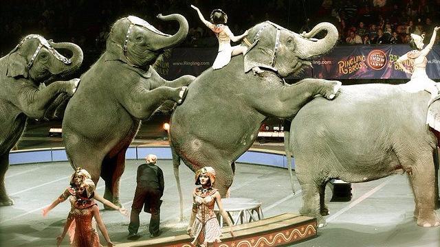 Ringling Bros. stopper med at bruge elefanter i sine shows ved udgangen af maj. Oprindeligt var planen, at brugen skulle udfases i løbet af 2018. Foto: Rafael Alvarez/flickr