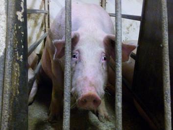 Intensiv dyreproduktion er et absurd fænomen