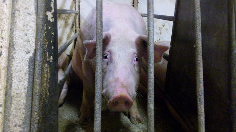 Da intensiv produktion af dyr startede for årtier siden, var det i vid udstrækning  på baggrund af uvidenhed om de fatale konsekvenser for dyr, mennesker og  miljø.   At fortsætte denne praksis på trods af viden er en forbrydelse, mener skribenten. Foto: Mercy For Animals Canada (Foto fra Manitoba Pork Factory Farm, 2012)