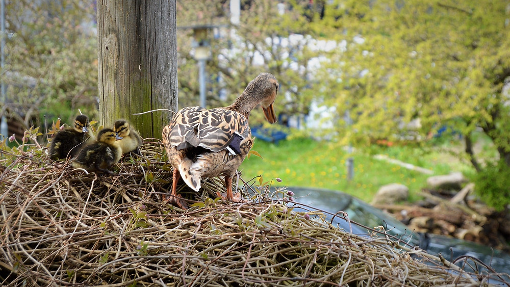 En andemor finder steder at ruge sine æg, hvor mennesker kan tænke, at de ikke hører til. Men i virkeligheden hører de hjemme alle de steder, hvor der bare er den mindste smule natur. Foto: Dyrenes Beskyttelse