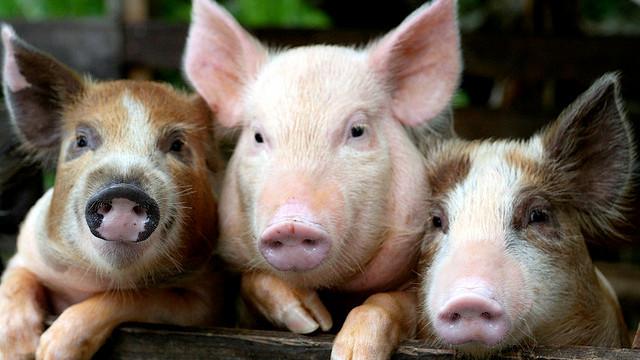 Der er stor forskel på dyrevelfærden blandt danske grise. Foto: Eunice Hong/flickr
