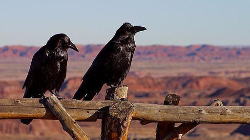 Krager husker på de krager, der har snydt dem, viser et nyt studie. Foto: Jon Sullivan/Wikimedia Commons