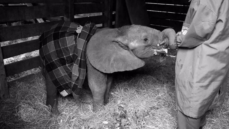 Loisoto blev efterladt alene, da krybskytter dræbte hans familie. Han døde få dage senere af en stressrelateret sygdom. Foto: The David Sheldrick Wildlife Trust/Facebook