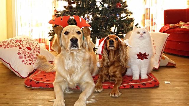 Hundeejere skal passe på deres hunde i juletiden, hvor usunde godter kan være tillokkende. Der er dog meget julemad, som hunde og andre dyr ikke kan tåle. Foto: Pixabay
