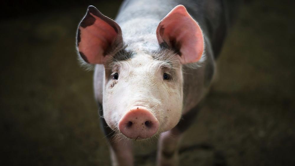 Et nyt forskningsprojekt kan redde tusindvis af dyr fra at være forsøgsdyr. Foto: Pixabay