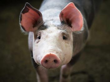 Næsten halvdelen af svineproducenterne bryder dyrevelfærdsreglerne