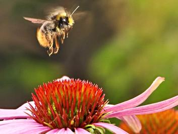 Trump-administrationen vil godkende pesticider, selvom de udgør en risiko for bier og smådyr