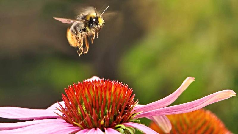 bumblebee-538595_1280-compressed_edited.jpg