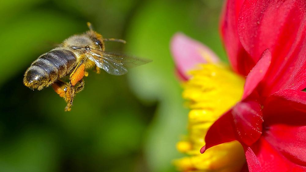 Bestanden falder for over 700 biarter i Nordamerika og på Hawaii. Foto: Pixabay
