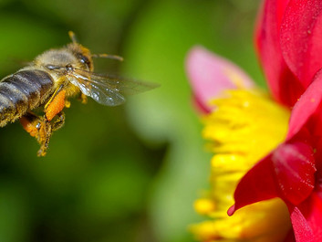 Advarsel: Sprøjtegifte truer med at udrydde hundredvis af biarter