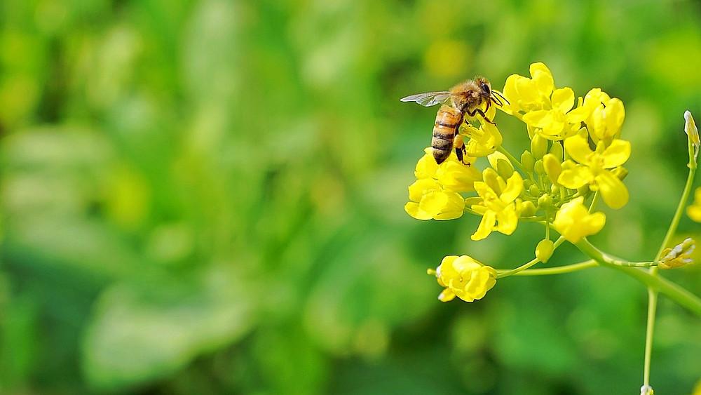 To nye studier viser, at neocotinoider kan have en skadelig effekt på bier. Foto: Pixabay