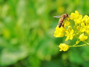 Forsker bag omfattende studie af bier advarer mod pesticider