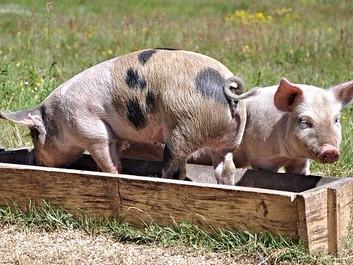 Høj velfærd for grise sænker risikoen for MRSA
