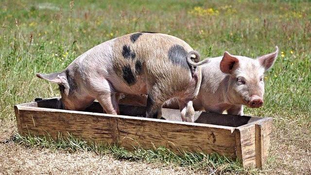 Jo bedre forhold grisene har, og jo mindre antibiotika de får, desto lavere er risikoen for forekomst af MRSA. Foto: Pixabay