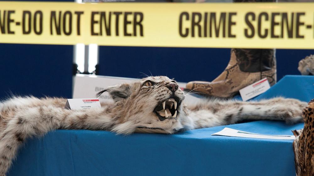 Et dyreskind ligger på en blå dug.