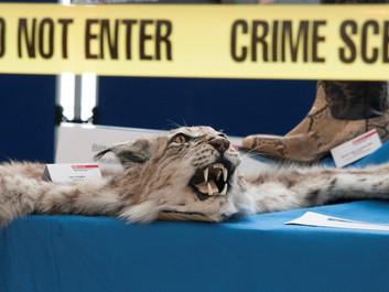 Ulovlig handel med vilde dyr stiger i USA, og det truer biodiversiteten