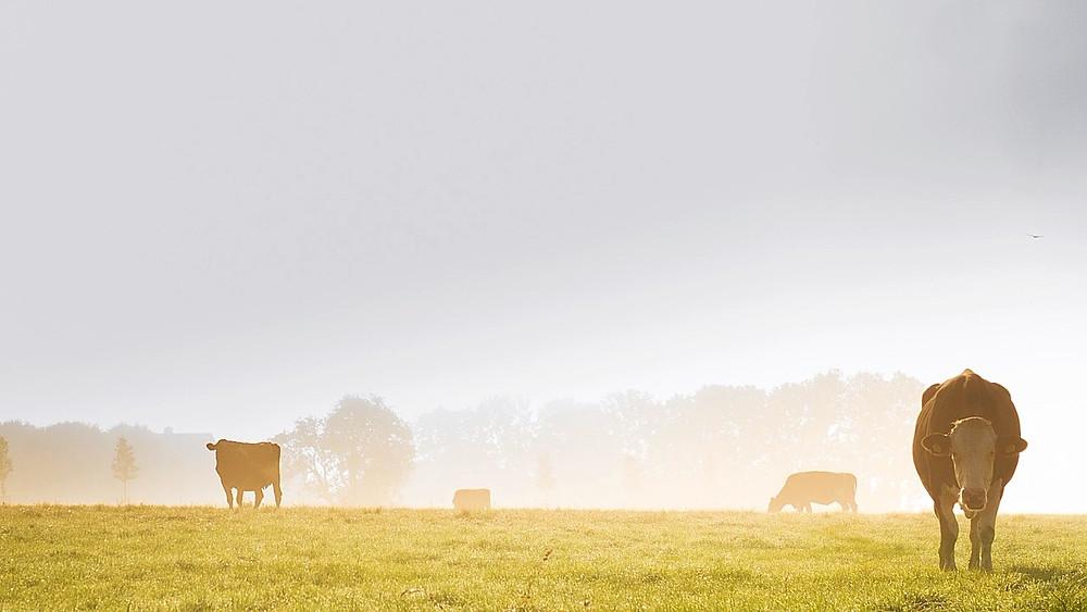 En flok køer lever nu vildt i de italienske bjerge. Billedet her er ikke af de vilde køer. Modelfoto: Pixabay