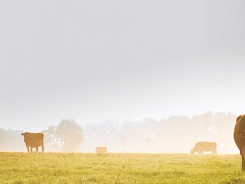 Køer stak af og lever nu som for 12.000 år siden