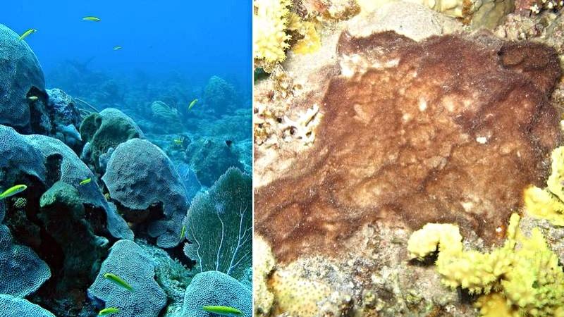 Til venstre ses et sundt koralrev - til højre ses et algebefængt koralrev. Om 35 år vil alle koralrev se ud som til højre, lyder vurderingen. Fotos: NOAA's National Ocean Service/flickr og Prilfish/flickr