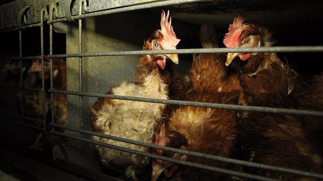 Kellogg Company vil stoppe med at bruge buræg i sine produkter senest i 2025. Foto: Farm Watch/flickr