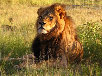 Zimbabwe dropper anklagen mod løvedræberen Walter Palmer