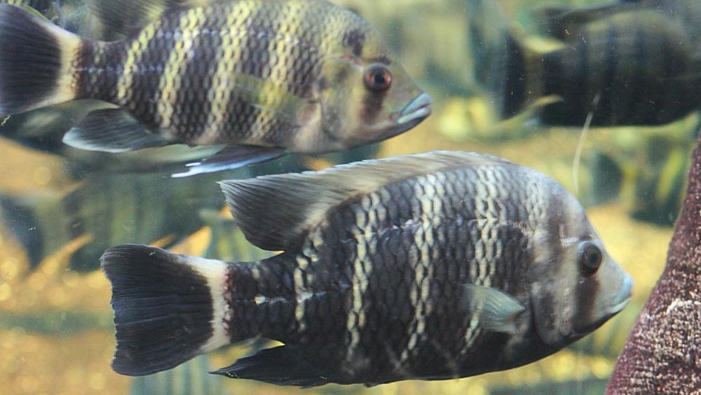 Zebrafisk udviser i et studie en social adfærd, der ligner menneskets. Foto: Quinn Dombrowski