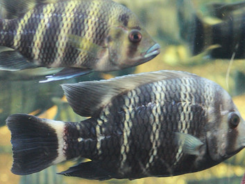 Studie: Fisk er følende individer, der finder trøst i hinanden
