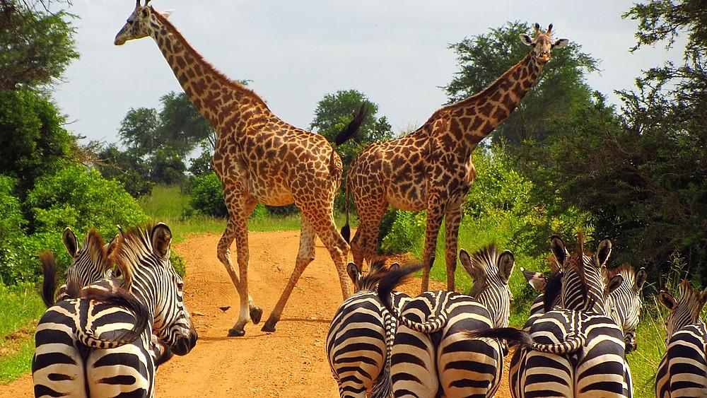 Tanzanias Mikumi National Park er et af de fredede naturområder, der er ramt af menneskelig bebyggelse. Foto: Pixabay