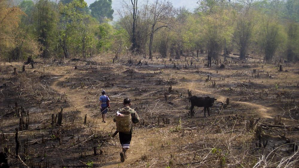 Den øgede efterspørgsel på bildæk medfører, at gummiplantagerne udvider, og det betyder, at skovene ryddes. Foto: Wikimedia Commons