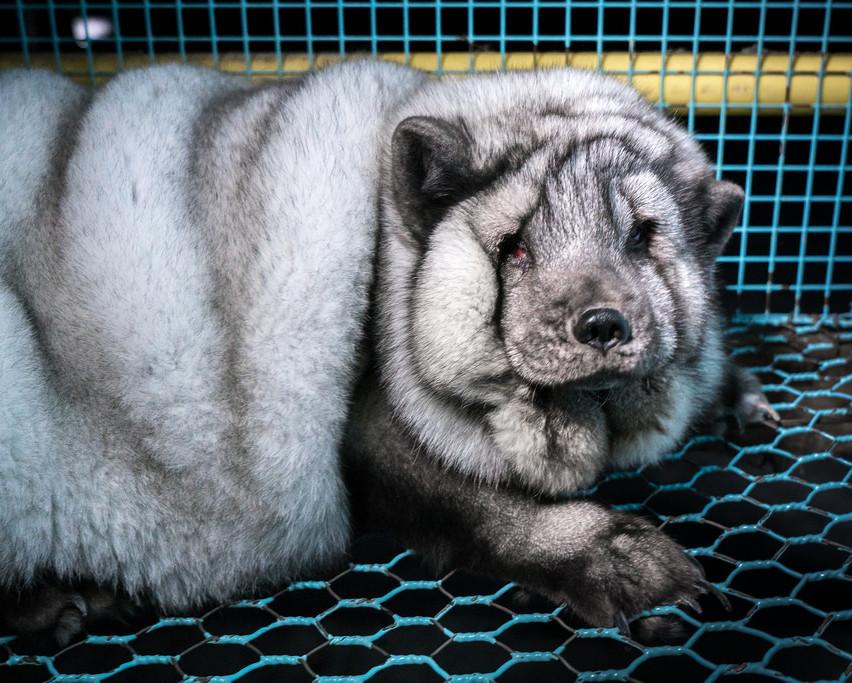Finske monsterræve i pelsindustrien