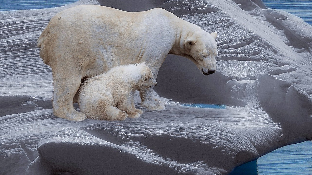 Isen på Arktis svinder ind, og det gør det sværere for isbjørnen at finde føde. Foto: Pixabay