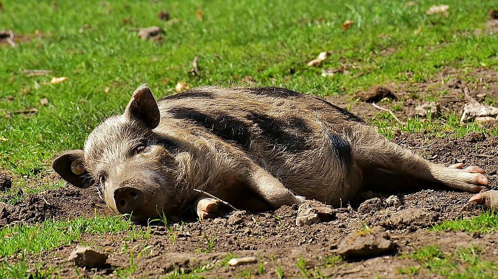 Økologiske grise og andre velfærdsdyr er blevet mere populære hos de danske forbrugere. Foto: Pixabay