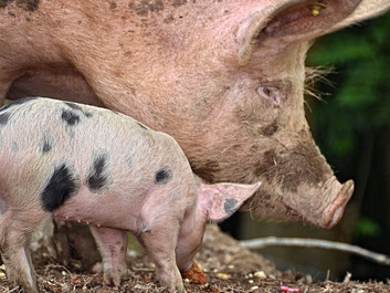 Briterne vedtager, at dyr ikke er følende væsener