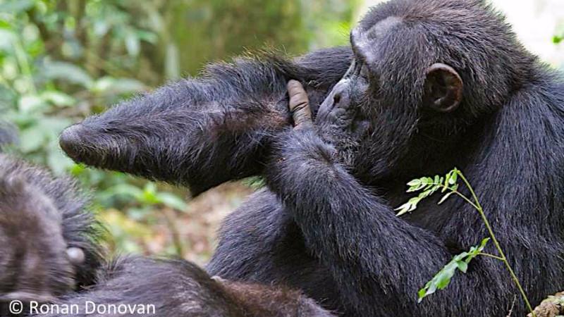 Chimpansen Twig har mistet sin ene hånd efter at være blevet offer for en fælde sat op i junglen. Foto: Ronan Donovan
