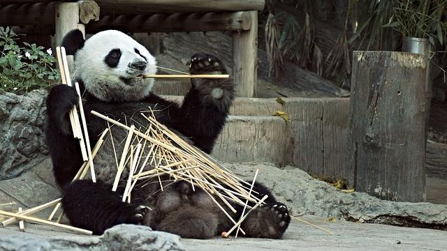 """Det er for tidligt at fjerne pandaen fra """"truet""""-listen, mener ekspert Zhang Hemin. Foto: Pixabay"""