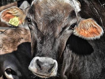 En afgift på oksekød er ikke en straf