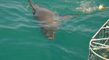 Cara a cara con el tiburón blanco