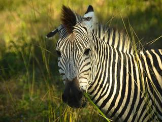 South Luangwa National Park: de safari low cost por uno de los mejores parques de Zambia
