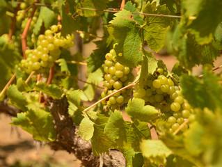 Groot Constantia, un viñedo histórico en Ciudad del Cabo