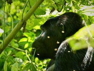 Entre gorilas por el parque impenetrable de Bwindi