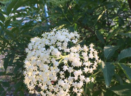 お庭で摘むエルダーフラワーの コーディアルレシピ