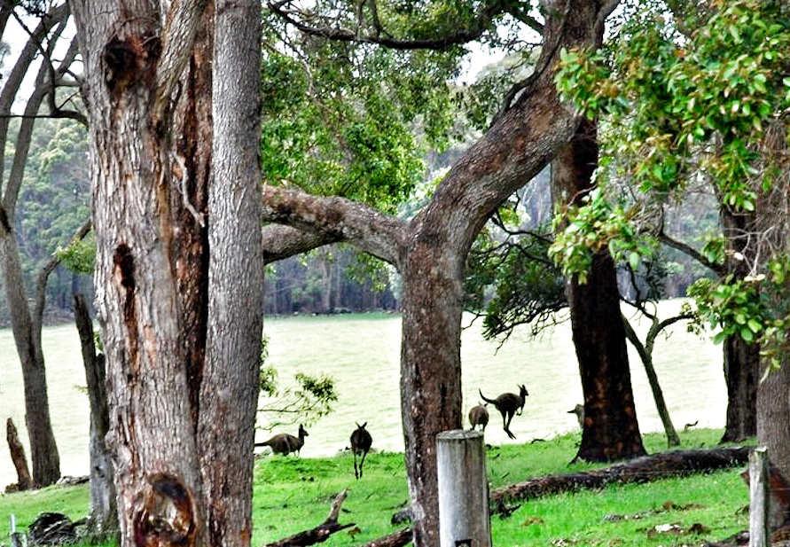 Kangaroos House Paddock