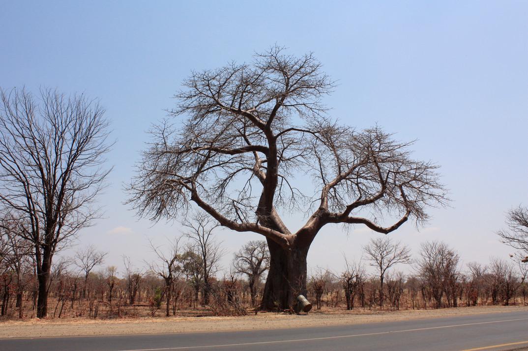 Baobab tree, Zambia