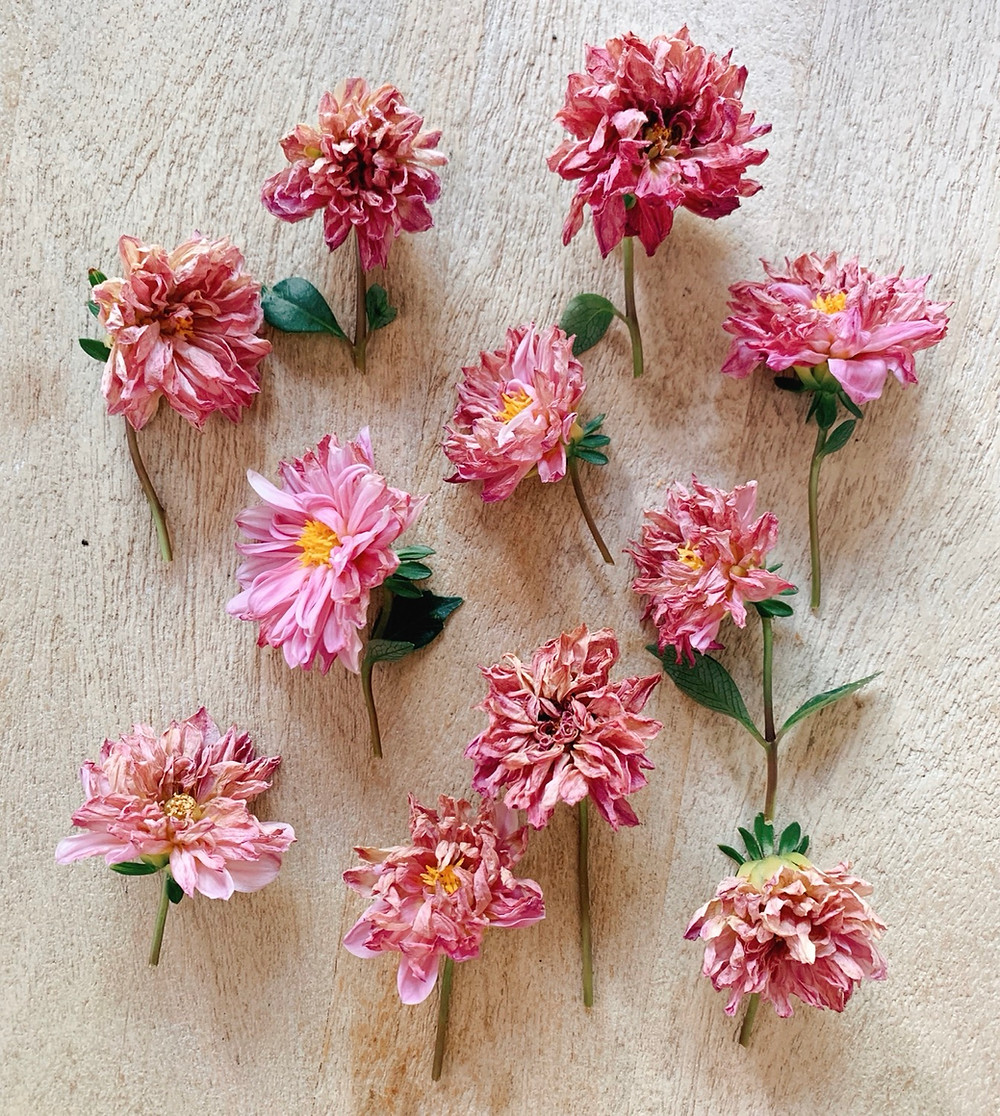 Cut pink dahlias