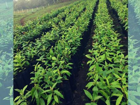 Establecimiento de la Plantación